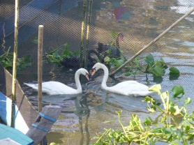 Pairs of white swans and black swans
