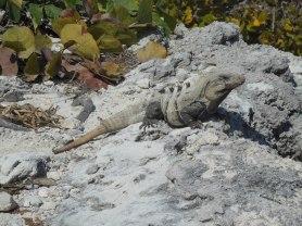 Iguana in Cancun