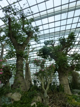 African Baobab