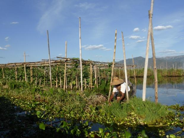 Farmer tending crops